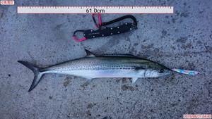 6月21日 シイラ サワラ 太刀魚
