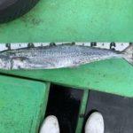 7月6日 サワラ シイラ 太刀魚 ソーダ鰹