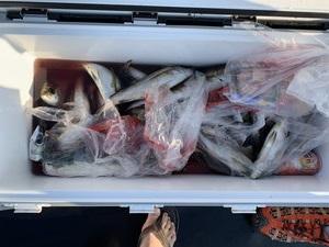 8月25日 イサギ サワラ シオ ツバス シイラ 太刀魚