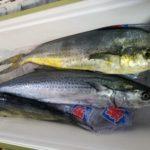 9月3日 シイラ 太刀魚 シオ サワラ 石鯛
