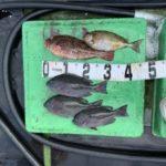 9月26日 ハマチ シオ 太刀魚 グレ イサギ アイゴ