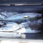 11月13日 メジロ ハマチ 太刀魚 グレ イガミ サンバソウ アオリイカ イサギ