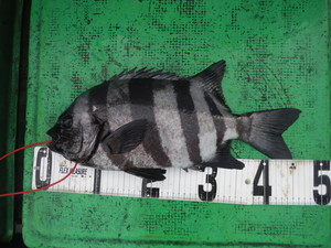 11月27日 石鯛 グレ イサギ ハマチ 太刀魚