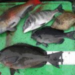 2月7日 グレ チヌ 真鯛