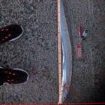 9月15日 太刀魚 ツバス イサギ イシガキ サンバソウ グレ チヌ アイゴ イガミ