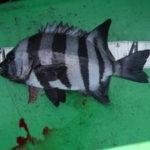 10月5日 石鯛 ツバス 太刀魚 ムロアジ グレ イサギ