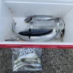 11月6日 ハマチ 太刀魚 イサギ アオリイカ 石鯛 イシガキ
