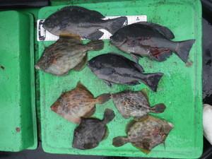 12月10日 グレ カワハギ 石鯛