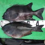 4月12日 メジロ グレ 石鯛 イガミ カワハギ