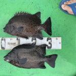9月12日 シイラ シオ 太刀魚 アオリイカ