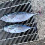 10月6日 スマ鰹 ペンペン 太刀魚
